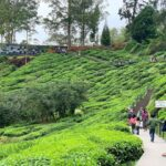 ladang teh boh sungai palas cameron
