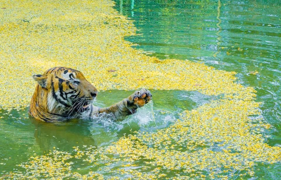 harimau di a famosa resort
