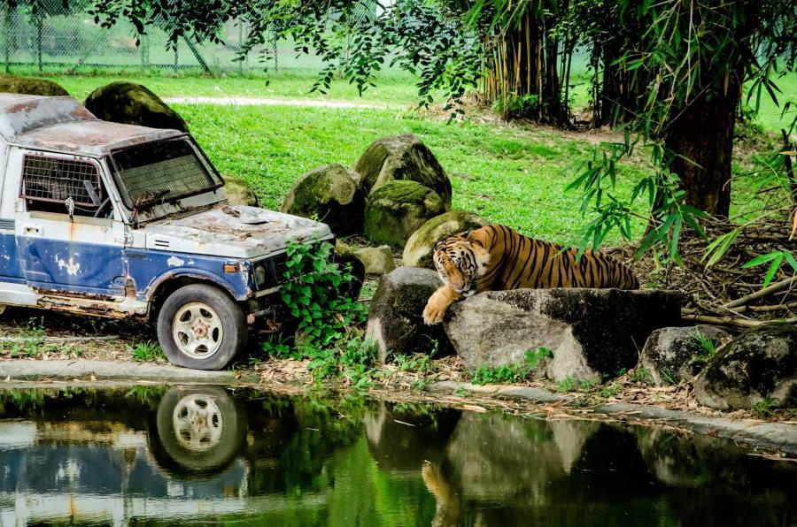 harimau di safari a famosa resort