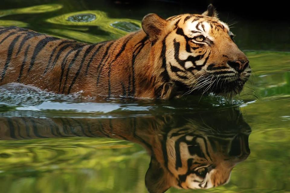harimau malaya zoo negara