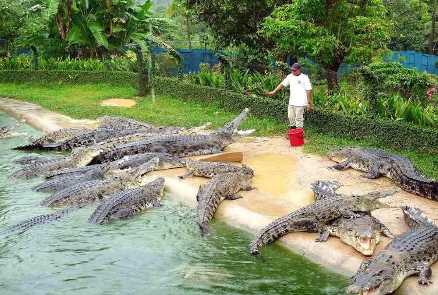 beri makan buaya - profession bahaya langkawi malaysia