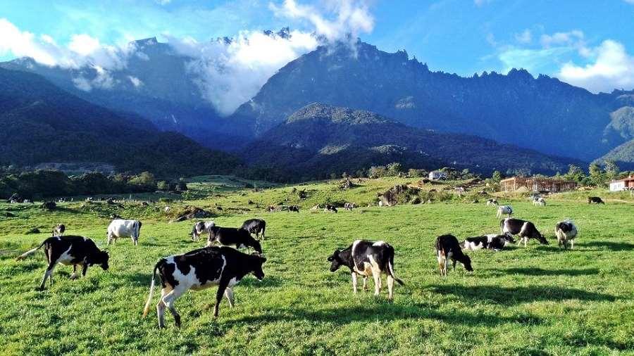 desa dairy farm - tarikan Malaysia yg mcm New Zealand