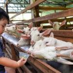tempat menarik penang untuk kanak kanak saneen dairy goat farm penang
