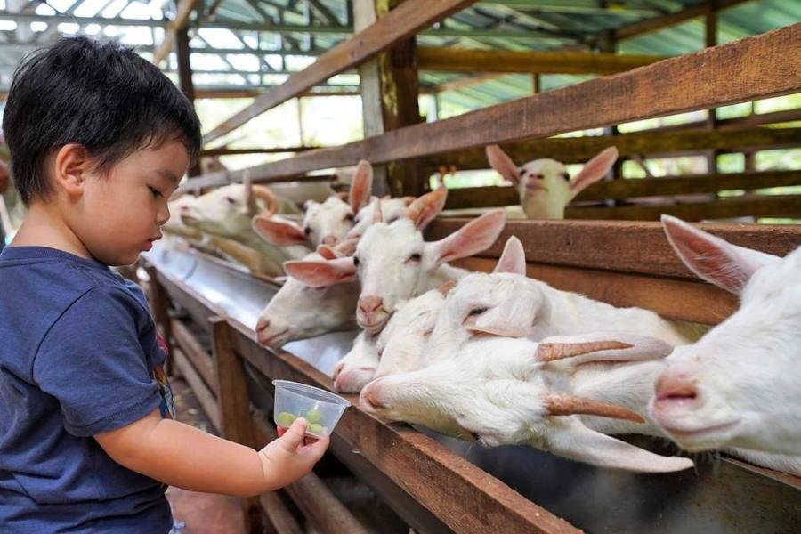 saneen dairy goat farm penang