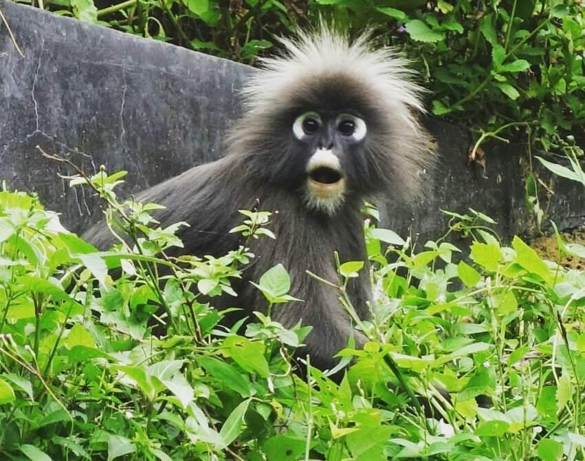 the habitat penang monkey