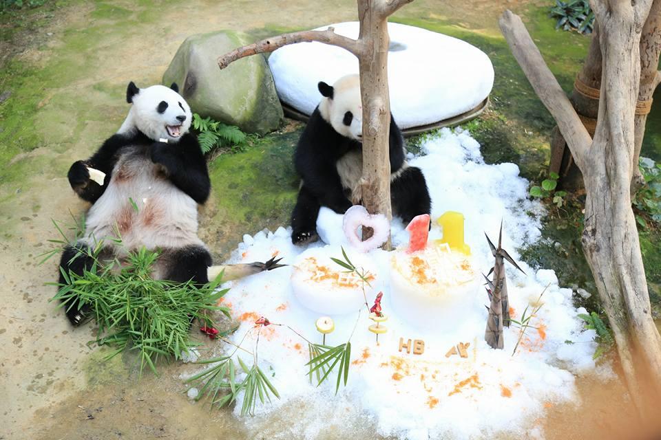 malaysian panda in zoo negara