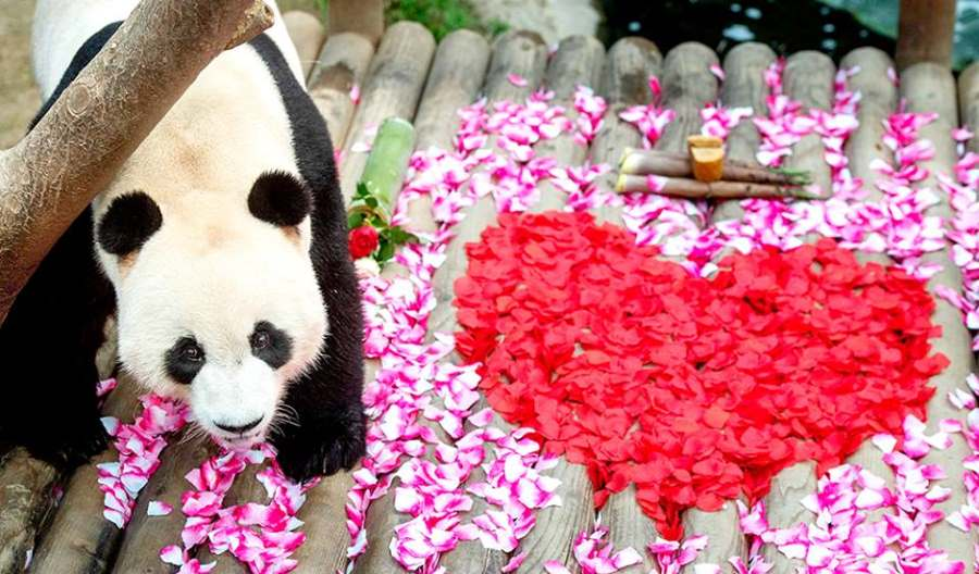 panda di korea