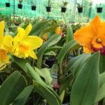 langkawi orchid farm