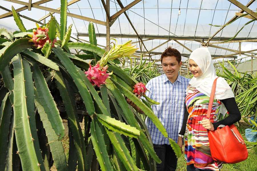 buah naga zenxin organic farm
