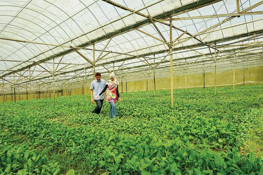 kebun sayur di zenxin organic farm johor