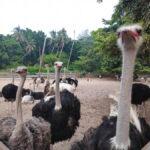 kandang kasuari desaru ostrich farm johor