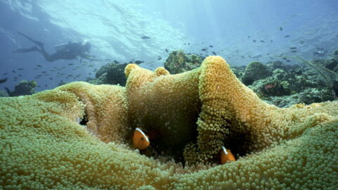 clown fish di mataking