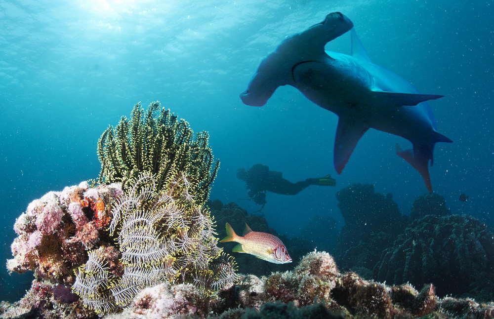 hammerhead shark di pulau layang layang