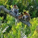 kawa-kawa-river-cruise-proboscis-monkey